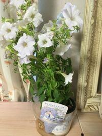 お花の切り戻しについて教えて下さい。 花がぐんぐん伸びてきたのですがこのままで良いのでしょうか?  枯れてきたら切り戻しするのでしょうか?  スノーブルーと言うお花です。  よろしくお願いします。