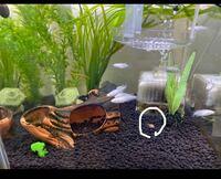 ミナミヌマエビが死んでしまいました 水槽には白メダカ10匹 石巻貝3匹 タナゴ一匹 ドジョウ一匹 ミナミヌマエビ4匹(亡くなったエビも含めて)います  水温も10〜15℃くらいです  何故死んでしまったのでしょうか? ...