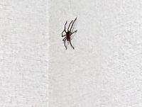 クモは味方ですよね?  だけど…実際、何cmまでなら…OKですか?  わたし、1cmくらいでかわいいクモを いつも見ていて「味方だ♪」って思ってたんですけど 今朝、5cm以上に急成長? していてびっくりしました∑...