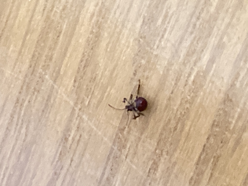 虫の同定をお願いいたします。 大きさは3mm前後で、ひっくり返っていますが、体は黒っぽいような茶色のような色一色でした。