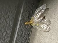 市街地なのですが画像のような虫がいました。 何という虫か分かる方いらっしゃいますか? 大きさは体長は約7〜8センチぐらいでした。