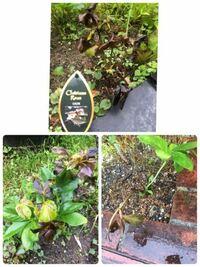クリスマスローズを育てる初心者です。 今年の春に植えたクリスマスローズが 写真の様になってしまいました。 枯れた葉は切った方が良いですか? また、一番酷い状態の物(交配種)はもう来年の 開花は難しいでしょ...