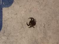 コロコロで掃除したら、虫がついてました。  蜘蛛なのか、ダニなのか、、、約3mmです。 画像からわかりますでしょうか。 よろしくお願いします。