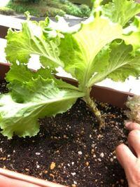 家庭菜園 プランター栽培 レタス 今年、初めてレタス植え、写真の通り、10枚以上は葉っぱ収穫してます。 土の上から葉っぱまで、既に8センチくらいなり、重みで曲がってきました。  これは、収穫して、下の茎が、 伸び続けるんでしょうか? また、レタスも支柱がいるんでしょうか?