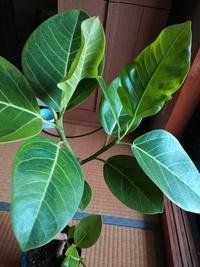 観葉植物の葉について。 フィカス アルテシマを1週間前に購入しました。 ふと気づくと画像のように上方の葉がふにゃふにゃと変形、柔らかくなっています。原因、対処方法についてわかる方、教 えていただけます...