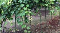 家庭菜園に植えてある葡萄の巨峰ですが、写真のように茎や葉っぱがぐんぐん伸びてきて葡萄の実が見えなくなってしまいました。太陽の光が当たらるように茎や葉っぱを切ってしまいたいのですが、問題ありますか?