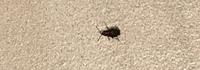 助けてください  窓際に昨日から画像の虫が 大量発生しています。 昨日の夕方に気付き殺虫剤をまいて 掃除機で吸いました。 そのあと少しまたいたので もう一度殺虫剤を巻いて寝ました。 次の日の朝、虫が...