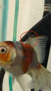 金魚の背びれについてです。 いつもお世話になっております。 飼い始めて2か月の我が家の金魚ですが背びれがどうも骨折しているようです。  調べてみるとカットしたりする方もいるそうですが私には怖くて出来ませ...