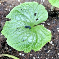 黒い昆虫は、何と言う蝶の幼虫ですか?