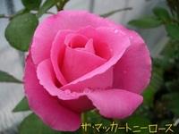 「Rose」歌詞の中に香り立つバラ(ニュアンスでも)が 入った洋楽を教えて下さいますか。 そのフレーズを書き添えてもらえば有難いですね^^  The Beatles - Till There Was You(Willsonのカバー) https:/...