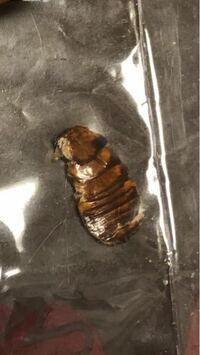【※写真付きです】家にこの虫の抜け殻のようなものが落ちてました、。これは虫の抜け殻なのでしょうか? また、もしこれが虫だとしてどのような対処法があるのか誰か教えて頂きたいです、