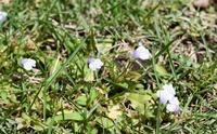 植物(雑草)に詳しい方に質問です。自宅の庭の芝を刈ろうと思ったところ、添付写真の様な可愛らしい花が咲いました。花びらの大きさは3~5mm程度のとても小さい花ですが、今まで見たことも無い花です。 余りに可...