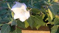 花に詳しい方、どなたかお願いします。 今は亡き曾祖母の家に植わっていた花を祖母が持ってきたのですが、花の名前がわからなくて祖母が困っています。 どうしても知りたいのですが、この花の名前がわかる方教えて頂きたいですm(*_ _)m