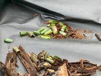 ウッドデッキの中にさなぎ? 腐りかけのウッドデッキ (レッドシダー)を補修していたら、中から葉っぱに包まれた、なにかのさなぎのようなものが出てきました。これは何の虫のさなぎでしょうか?
