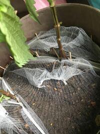 しその葉を食べているのはだれでしょうか? 大きく育ったしそを鉢ごと頂き、玄関内で育てています。最初の頃は小さな虫と卵がたくさん付いていたので、1日数回セロテープでペタペタし、全て取り切りました。虫もいなくなり順調に育てていたのですが、途中で葉に大きな穴が開き始め、ヨトウムシを疑い株元を軽く掘ってみましたが、何も出て来ませんでした。なので写真のように、排水溝ネットを数枚と爪楊枝で土の上を全部覆...