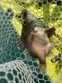 この魚の名前を教えて下さい。 駿河湾で水深200mくらいで釣れました。全長は20cmくらいです。 近くの人に聞くと不味い魚と言ってました。