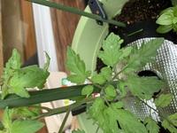ミニトマトを育てています。これはうどんこ病ですか?2日前にアブラムシ対策に木酢液を使用しました。