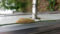この蛹?は何だと思いますか? 地面の近くの草の茎にくっついてました。