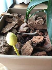 観葉植物の鉢に生えてきた キノコのようなよですが 何という名前のキノコか教えてほしいです  かなり黄色が濃くて 7センチくらいあると思います