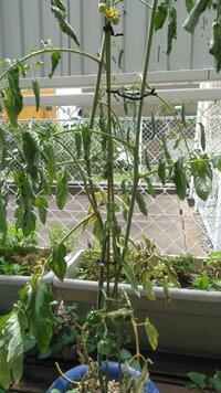 ミニトマトもう駄目でしょうか? 鉢植えでミニトマト植えたのですが 雨の後こんな感じで葉っぱがしおれています 花も咲き実も付いたんですが 原因は何でしょうか 最初にたい肥や液体肥料もやったんですけど。