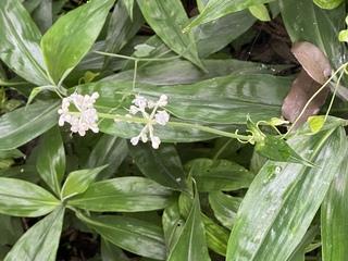 植物,ヤブミョウガ,名前,両性花,咲来ます,いづれ,雄花
