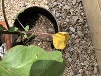 家庭菜園ど素人です 2日前にプランターに移し替えたら、1番下の葉が黄色に変色してしまいました  切ったりせずにこのままで良いですか?
