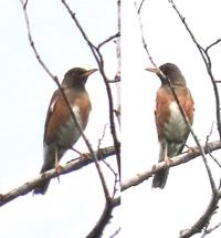 この野鳥の名前を教えてください 2020.06.28 青森市