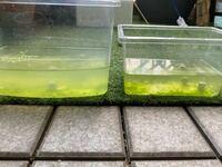 メダカのグリーンウォーターについて。 メダカの稚魚を2つの飼育ケースに分けて育てています。 大きい方のケースが、グリーンだけど白く濁っている感じです。小さい方は下にグリーンが溜まっているけど水は透き...