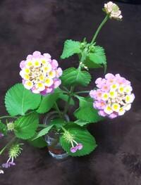 花の名前。  この画像の花の名前を教えて下さい!  茎に小さなトゲがあり 葉は大葉のような香り 花はピンク・黄色  切り花に入っていたんですが 花屋とかに鉢植えで売っているんでしょ うか?  よろし...
