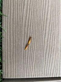 新築7ヶ月二階建て。二階にあるバルコニーに画像の虫がいたのですがなんという虫か分かりますか? シロアリ?など建物に害のある虫だといやだなー!と思い質問です。