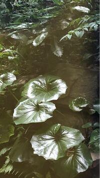 丸い葉の植物は何という植物ですか?