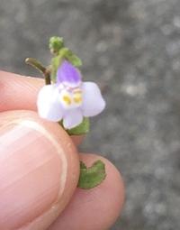 この雑草の花の名前はなんですか? 公園で咲いていたのを子供が摘んできました。名前を知りたいと言っているのですが、わからず困っています。 詳しい方、ぜひ教えてください! よろしくお願 いします!