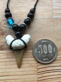 サメの生態に詳しい方に質問です 昨日地元のお土産屋さんでサメの牙の化石をペンダントにしたものを購入しました そこで思ったのですが このサメは全長がどれくらいあったか牙から想像出来る方いますか? 500円玉...