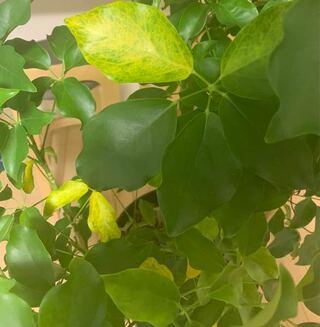 観葉植物,黄色,スリップス,変化,原因,環境,生理現象