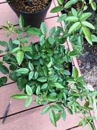 ハッピーマザーズデイの大苗の、少し枝葉が、カットされたものから、葉がどんどん出てきました。 これは、剪定?した方がいいのですか? このまま、特に何もしなくていいですか?
