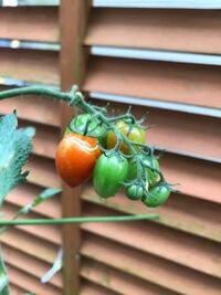 家庭菜園でミニトマトを育てているのですが、最初は身が赤くなり、収穫もまずまずでしたが、最近は上の方のトマトがなかなか赤くなりません、それどころか赤くならないうちにひび割れができている状態です。葉も黄色 くなり始めています。栄養が足りないのでしょうか?