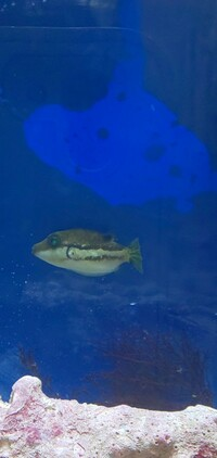 フグの種類とエサ、飼育について  はじめまして。 一週間前から飼育を開始したフグ好きの海水魚初心者です。 先日、神奈川の磯でフグの子どもを採取したのですが、わからないことがあります 。  ①種類につ...