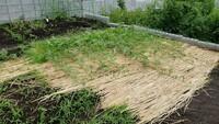 スイカが着果しません!  現在家の畑でスイカを栽培しているのですが、一つも着果しないまま、全ての子ヅルが30節ほどまで成長してしまいました。  肥料は元肥のみで追肥はしていないので、 蔓ぼけではない?と思います。  人工受粉は11時頃に何度が行いましたが、全てダメでした。  このまま頑張って30節以上の雌花に受粉するか、株本に近い孫ヅルにシフトチェンジするか...  スイ...