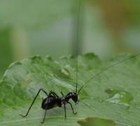 幼虫がアリにそっくりのキリギリスが国内で初発見されたニュースが出ていますが  このアリガタツユムシの幼虫は本物のアリに擬態しているのでしょうか? アリに擬態して何等かのメリットはあるのでしょうか?
