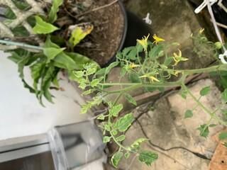 トマト黄化葉巻病,トマト栽培,写真,可能性