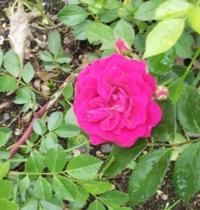 バラの名前を知りたいです。北海道に旅行に行った時に撮影したバラです。場所は北海道、7月中旬に撮影、つる性のバラです。花の大きさはそれほど大きくなかったです。大きなアーチになっていました。