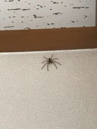 ※虫の画像注意 このクモはどういった種類のクモでしょうか。壁の上の方でじっとしているので、正確な大きさは分かりませんが、直径2cmから5cmぐらいの大きさだと思います。 虫が大の苦手で、できれば逃してあげた...
