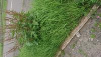 草に詳しいかた、教えてください! この茶色い草はなんて名前ですか?