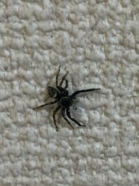 この蜘蛛ってアダンソンハエトリですか?