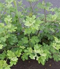 【植物の名前】この植物の名前を教えていただきたいです。植物高は50㎝ほどで、花はついていませんでした。タケニグサではないかと思っているのですが…。詳しい方、どうぞよろしくお願いいたします。