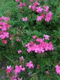 グランドカバーにも最適と書いてあったので植えました。小さなポットだったのがグングン伸びてピンクのお花が沢山咲きました。 名前分かりますか?お願いします。