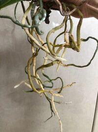 胡蝶蘭の根っこです。 胡蝶蘭が窮屈そうに見えたのと、3年ほど植え替えしてなかったので、遅くなりましたが植え替えをしようと思い抜きました。 根っこが白くてまばらに長いです。 これだと、苔に巻いて鉢に押し...