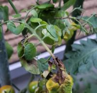 ミニトマトの苗の茎が茶色くなってしまいます。 特に奥のトマトが実るはずの枝が… 晴れ間がなく、雨続きだから腐ってしまったのでしょうか? どうしたら良いか教えてください。 肥料は与えてます。