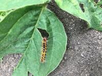 家庭菜園初心者です。枝豆の葉があなだらけになったのですが、この虫が原因でしょうか?見たことないのですがどのように対策すればよいでしょうか?