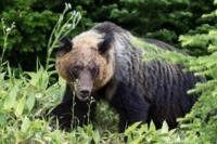 実はヒグマよりツキノワグマのほうが凶暴? 本で見たんですが、人口密度や熊の生息数を考慮しても、ツキノワグマの人襲撃事故はヒグマより率がかなり高いそうです。本ではツキノワグマはヒグマより凶暴なのかもしれ ないとありました。  一般的にはヒグマのほうが獰猛と言われてますが、皆さんどう思われますか?